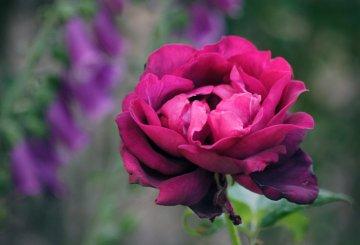 rose 'Ilios'